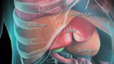 stomache : 3D animation of the human digestive system (ribcage, diaphragm, liver, stomach) Stock Footage