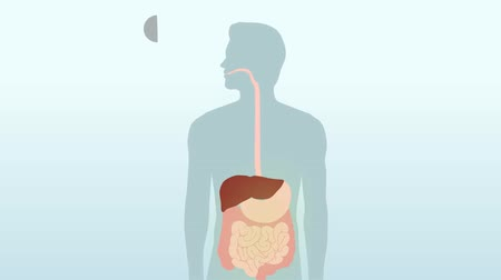 stomache : Anatomy of the human digestive system