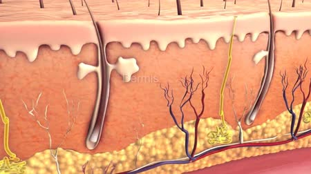 section : 3D animation of epidermis layers Stock Footage
