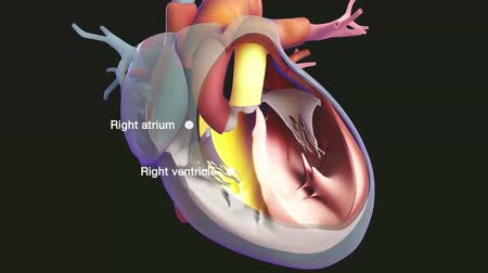 arter : Functioning of human heart 3d illustration