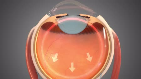 macula : 3D Animated eye structure