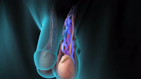 prostata : Animation of male reproductive system, varicocele