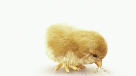 pintinho : Baby Chick Stand Together Stock Footage
