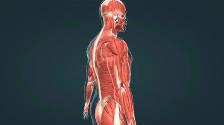 chester : Muscular System Upper Body Animation,