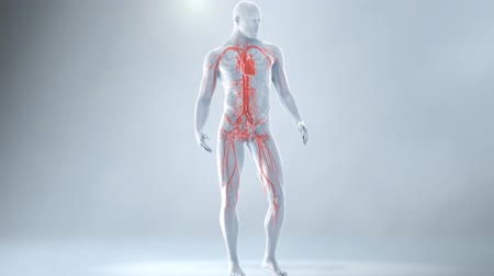 diagnose : Animation of Human Male blood circulation system