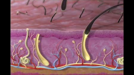 dividing : Animation of hair skin follicle,