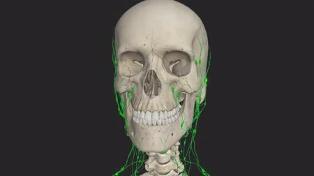 zęby : All human body systems. Lymphatic system highlight. Loop Wideo