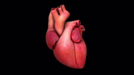 kardiyoloji : Cardiovascular system with beating heart Stok Video