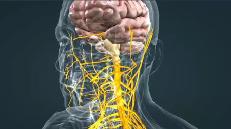 nervous : The human brain Neuron Neurons in action. electrical impulses