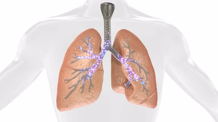 respiração : 3D Animation Of Pulsating Lungs In The Human Body. Concept Of The Disease. Loop