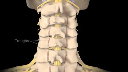 madde : Interior Spinal Cord Structure