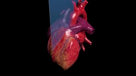 oběh : Anatomy of the Human Heart. The human heart pumps into the blood.