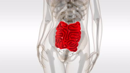 stomache : 3d rendered transparent human small intestine white background Stock Footage
