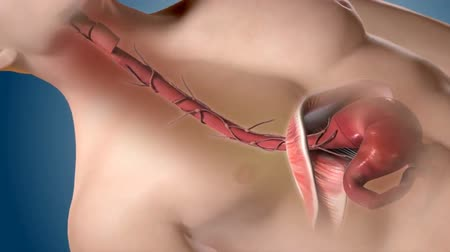anatomický : Medically accurate 3d animation of the human esophagus