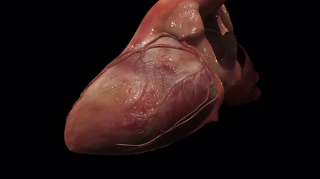 repetição : A rhythmically beating human heart can be seen. The right hearts into the lungs.
