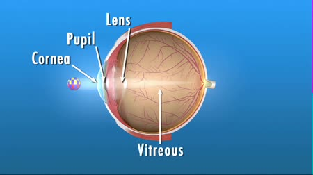 pupillary : Cornea, the outer, transparent structure. Its the primary light-focusing structure. Retina of the eye. Stock Footage
