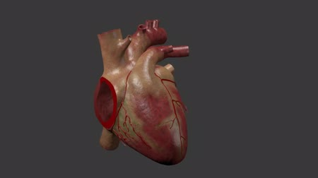 anatomický : Anatomy of the Human Heart. The human heart pumps into the blood.