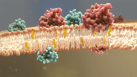 ion : Cholesterol Maintains the Integrity of the Cell Membrane.Cholesterol is an amphipathic molecule.