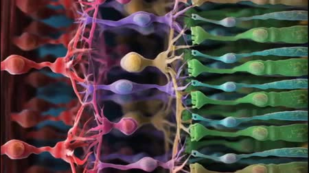 muller : Retina rod cells. Colored scanning electron micrograph (SEM). Rhodopsin The inner parts (orange) lead to the nuclei. Empty spaces in this room. Light triggers signals in the photoreceptors.