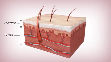 sentido : Anatomy of Skin. Epidermis and Dermis. 3D Medical Animation