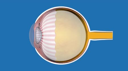 macula : Cornea, the outer, transparent structure. Its the primary light-focusing structure. Retina of the eye. Stock Footage