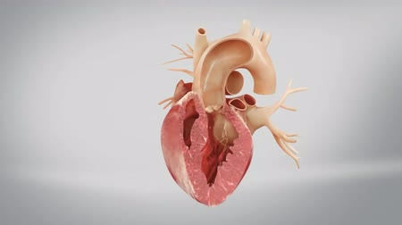 damar : Transcatheter AorticHeart Valve.Cardiovascular system with beating heart 3d animation Stok Video