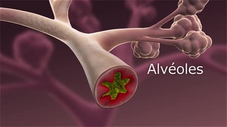 contraction : Alveoli are the airs of the respiratory system.