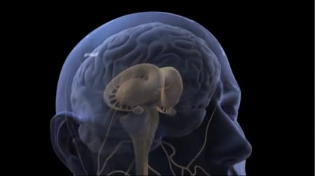estilizado : Neurons Transmit Messages In The Brain. Neurons are the cells that pass through.