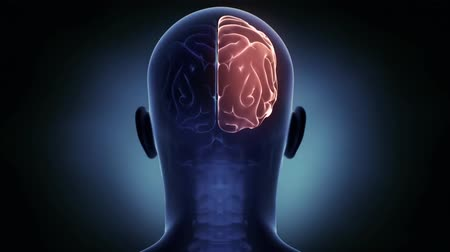 temporal : Human Brain Atlas.Brain-Right Hemisphere 4K Stock Footage