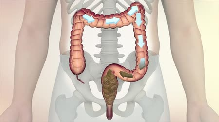 karaciğer : Human Anatomy Scan Showing The Male Gut. Digestive System Stok Video