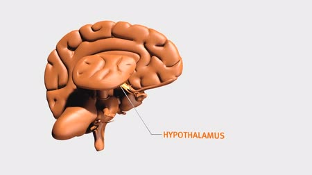 peças : The hypothalamus is a region of the brain. It includes several types of neurons. Vídeos