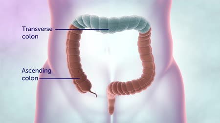 inflamed : Human digestive system. Parts of the large intestine