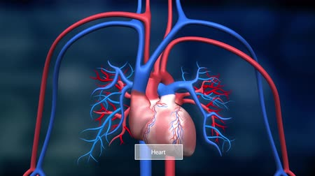 sc : The heart and circulatory system are the bodys lifeline, delivering blood to the bodys .The heart then sends the blood to the lungs to pick up more oxygen. Stock Footage