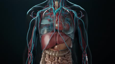 stomache : Function of organs. 3D medical animation of human internal organs in transparent on black background