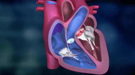fyziologie : The heart is divided into four chambers. The right atrium; the right ventricle; atrium Dostupné videozáznamy