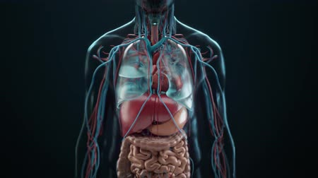 função : Function of organs. 3D medical animation of human internal organs in transparent on black background