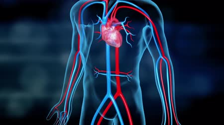 mourir : Transparent Human 3D Medical Cardiovascular System, Anatomy Of Heart Vidéos Libres De Droits