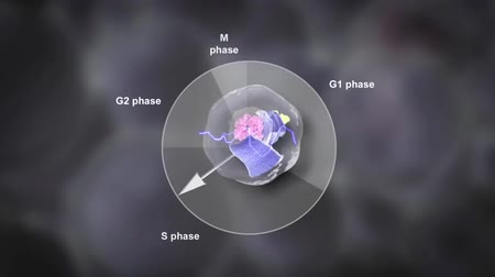 the conception : How a cell divides to make two genetically identical cells. Prophase, metaphase, anaphase, and telophase. Stock Footage