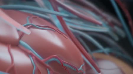 capillary : The Circulatory System is a network consisting of blood vessels, blood vessels, and the heart. Stock Footage