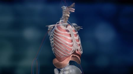 lobe : Pulmonary circulation, system of blood vessels. Stock Footage