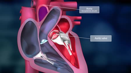 sc : The heart is divided into four chambers. The right atrium; the right ventricle; atrium Stock Footage