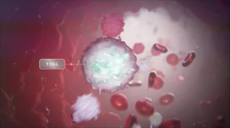 žíly : Animated video of blood circulatory system.T Cell