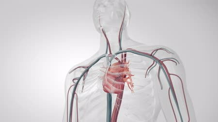 microscópico : Transparent human cardiovascular system in white background. 3D medical animation beating heart
