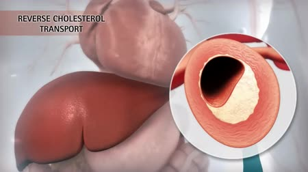 erythrocyte : Reverse cholesterol transport is a multistage process that enters the lymphatic system and then into the bloodstream, allowing cholesterol to move back from the peripheral tissues to the liver.