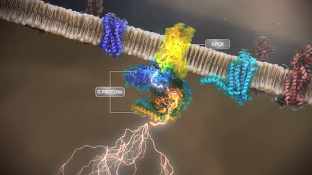 axon : G protein-coupled receptors (GPCRs) form the largest family of transmembrane receptors Stock Footage