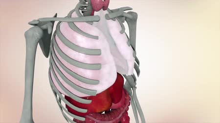 játra : Medical animated illustration of the human skeletal system. Duties of human organs