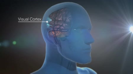refraksiyon : The part of the cerebral cortex that receives and processes sensory nerve impulses from the eyes. Stok Video