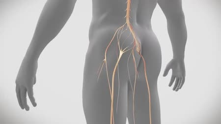 loção : 3D Medical Animation of transparent man on white background. Left lower lower back nerve problem Stock Footage