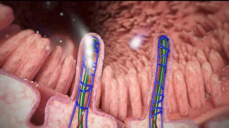 absorption : The large areas of the lymphoid tissue in the wall of the small intestine. Stock Footage