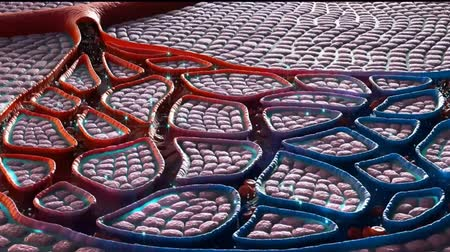 As it moves through blood vessels (capillaries) in the alveoli walls, your blood takes the oxygen from the alveoli and gives off carbon dioxide to the alveoli Stock Footage